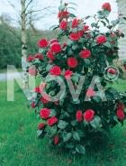 Camellia japonica 010908
