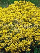Alisso giallo F-015