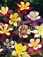 Aquilegia a fiore semplice mix F-021