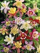 Aquilegia a fiore semplice mix F-433