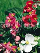 Begonia semplice mix F-045