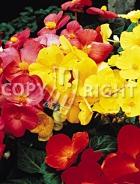 Begonia semplice mix F-294