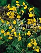 Calceolaria gialla F-046