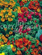Calceolaria mix F-048