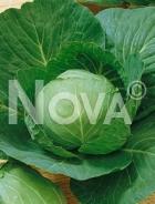 Cavolo capp. ditmarsker N1700508