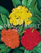 Celosia cresta di gallo mix 2067