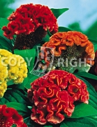 Celosia cresta di gallo mix F-063