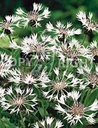 Centaurea montana bianca F-058