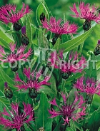 Centaurea montana rosa F-059