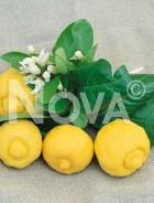 Limone N0700684