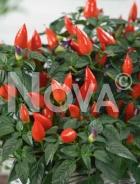 Peperone calypso N1513254