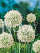 Allium mount everest N1900884