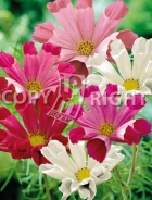 Cosmea seashell mix F-484