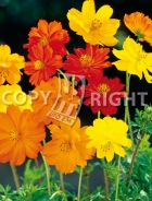 Cosmea bright lights mix F-485