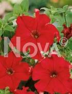 Petunia nana compatta rossa G4500864