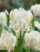 Tulipano pappagallo bianco N1907867