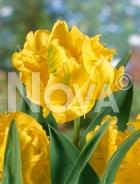 Tulipano pappagallo giallo N1914407