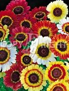 Crisantemo carinato mix F-075
