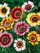 Crisantemo carinato mix F-318