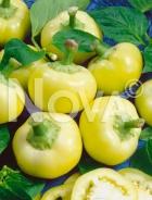 Peperone giallo botinecka N1703422