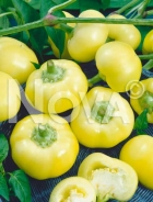 Peperone giallo botinecka N1703423