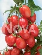 Pomodoro a grappoli d'inverno N1705668