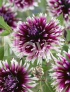 Dahlia cactus bianca-viola N1911418
