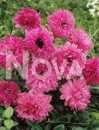 Anemone doppia rosa 750212