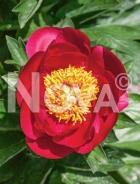 Paeonia rossa N0917452