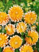 Dahlia decorativa arancio-bianca N1901348