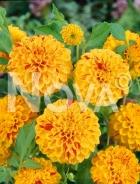 Dahlia pompon arancio N1904634