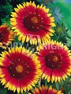 Gaillardia bicolore a grandi fiori F-095