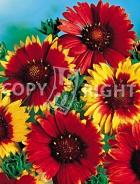 Gaillardia bicolore a grandi fiori F-096
