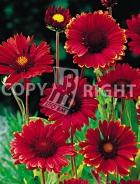 Gaillardia a fiori rossi F-329