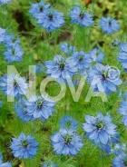 Nigella di damasco blu G4501692