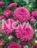 Astro california rosa N1500235