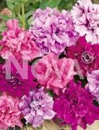 Petunia doppia nana mix N1500966