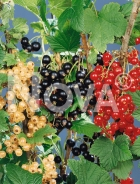 Ribes miscuglio N0700640