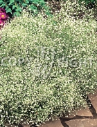 Gissofila paniculata bianca F-114