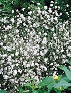 Gissofila paniculata bianca F-115