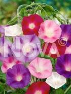 Ipomea grandiflora mix N1509077