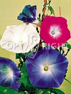 Ipomea grandiflora mix F-132
