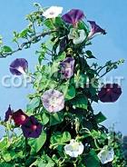 Ipomea grandiflora mix F-133