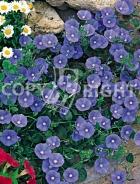 Ipomea grandiflora blu F-352