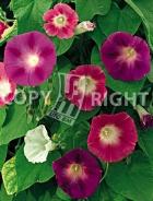 Ipomea grandiflora mix F-356