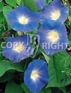 Ipomea grandiflora blu F-403