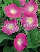 Ipomea grandiflora rosa F-404