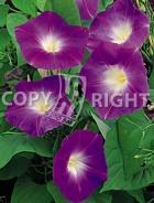 Ipomea grandiflora rubro F-405
