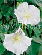 Ipomea grandiflora bianca F-512