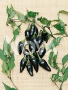Peperone black hungarian N1700543